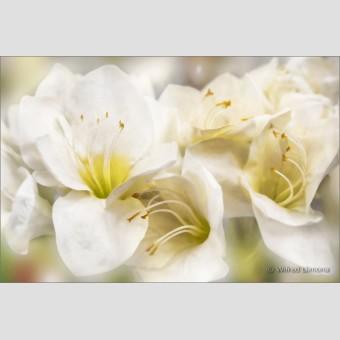 Amaryllis blancas F00540 Wifred Llimona · Fotografías artísticas