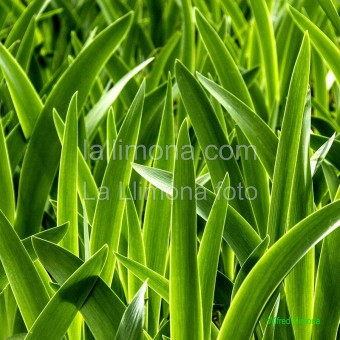 Hojas verdes F00325 · Autor: Wifred Llimona · Fotografías artísticas flora · La Llimona foto