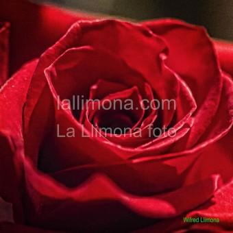 Rosa roja F00321 Wifred Llimona · Fotos artísticas flora
