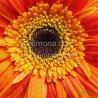 Flor naranja F00337 Wifred Llimona · Fotos artísticas flora