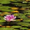 Nenúfares F00342-2 Wifred Llimona · Fotos artísticas flora