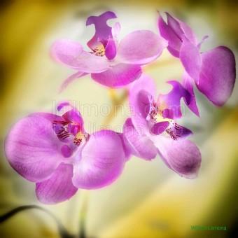 Orquideas lilas F00040-2 · Autor: Wifred Llimona · Fotografías artísticas flora · La Llimona foto
