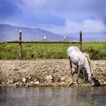 Caballo en río F00041-2 Wifred Llimona · Fotos artísticas fauna