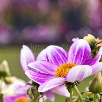 Flores jardin F00068 Wifred Llimona · Fotos artísticas flora