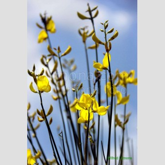 Flores amarillas F00070 Wifred Llimona · Fotos artísticas flora