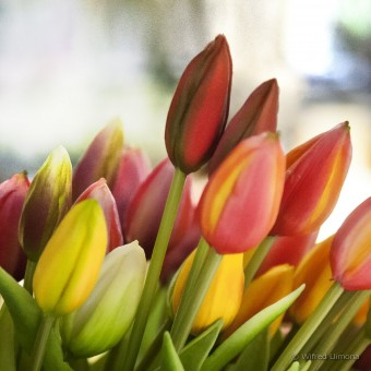 Tulipanes F00543-2 · Autor: Wifred Llimona · Fotografías artísticas flora · La Llimona foto
