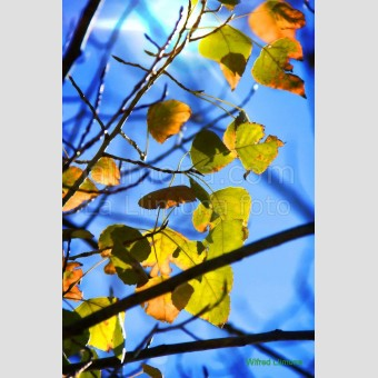 Hojas otoñales F00113-2 Wifred Llimona · Fotos artísticas flora