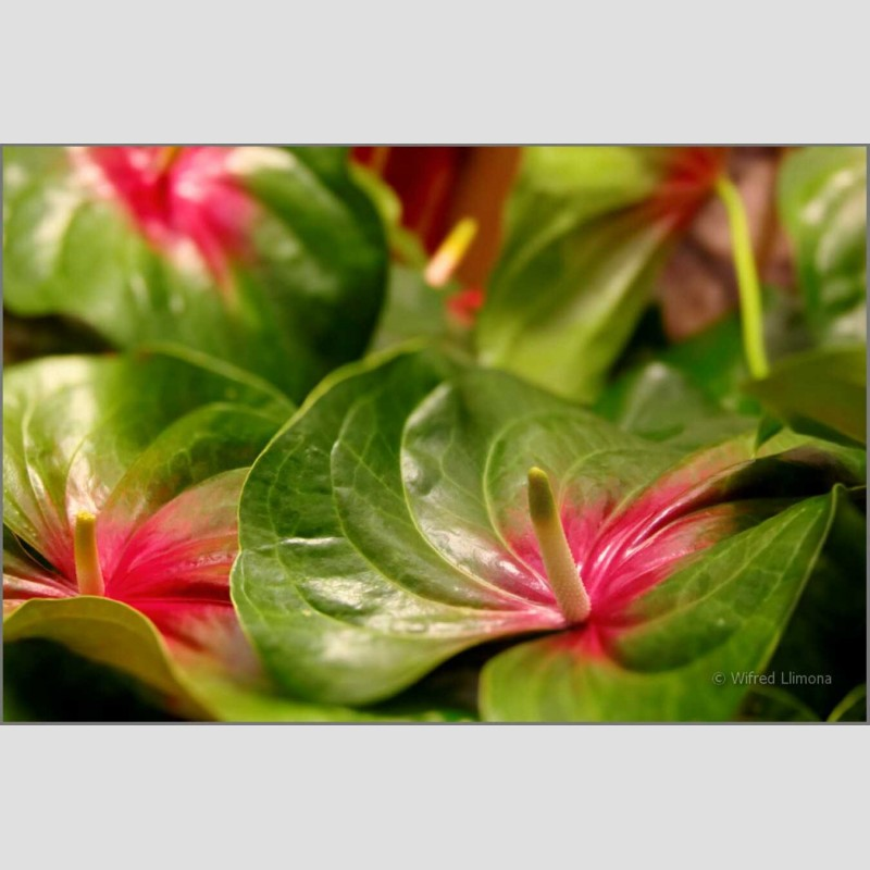 Anthurium natural F00672 Wifred Llimona · Fotografías artísticas