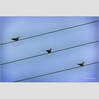 Pentagrama pajaros F00745 · Autor: Wifred Llimona · Fotografías artísticas fauna · La Llimona foto