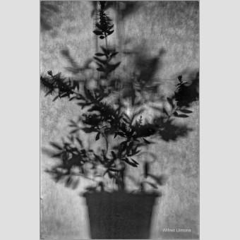 Silueta planta F00758 · Autor: Wifred Llimona · Fotografías artísticas flora · La Llimona foto