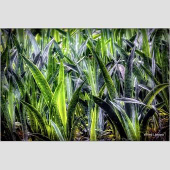 Sansevierias F00779 · Autor: Wifred Llimona · Fotografías artísticas flora · La Llimona foto