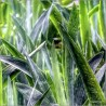 Sansevierias F00779-2 · Autor: Wifred Llimona · Fotografías artísticas flora · La Llimona foto