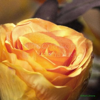 Rosa naranja F00171-2 Wifred Llimona · Fotos artísticas flora