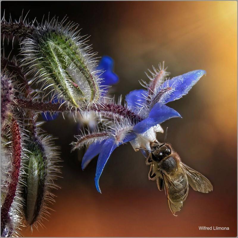 Fotografías artísticas de fauna. Abeja F00879. Autor: Wifred Llimona