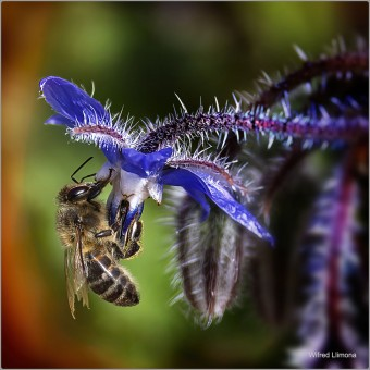 Fotografías artísticas de fauna. Abeja F00881. Autor: Wifred Llimona