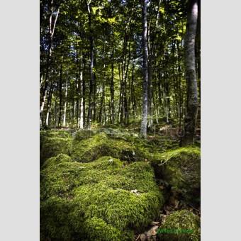 Fotografía fageda Jorda F00186 Wifred Llimona · Fotografías artísticas paisajes naturales · La Llimona foto