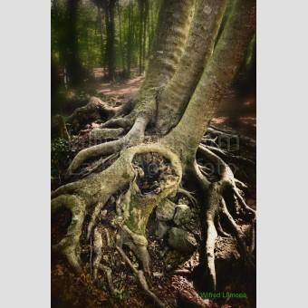 Raices arbol F00197-2 Wifred Llimona · Fotos artísticas paisajes naturales