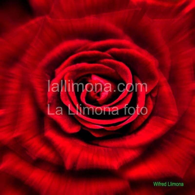Rosa roja F00260-2 Wifred Llimona · Fotos artísticas flora