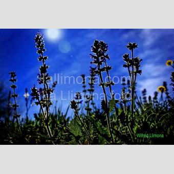 Contraluz azul F00275-2 Wifred Llimona · Fotos artísticas flora