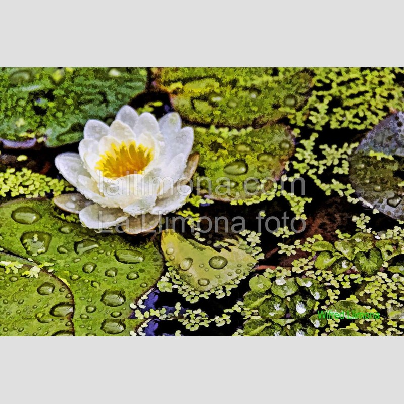 Flor con agua F00280 · Autor: Wifred Llimona · Fotografías artísticas flora · La Llimona foto