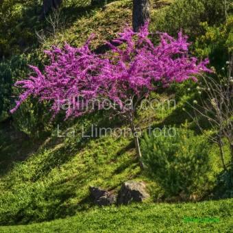 Árbol rosado F00297 · Autor: Wifred Llimona · Fotografías artísticas flora · La Llimona foto