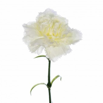 Flor clavel artificial rizado blanco 55 · Flores artificiales · La Llimona home