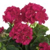 Flores artificiales - Geranio artificial fucsia 2